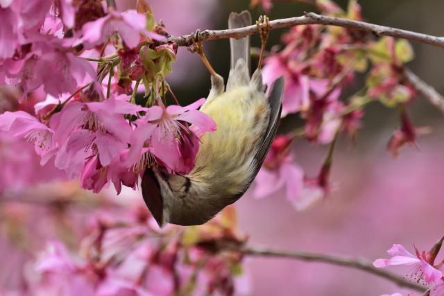 カンムリチメドリと桜(6)