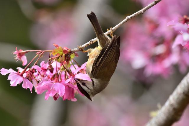 カンムリチメドリと桜(5)