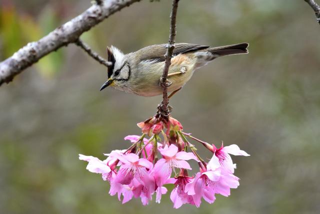 カンムリチメドリと桜(4)