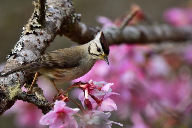 カンムリチメドリと桜(1)