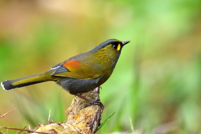 阿里山の野鳥〜ヤブドリ