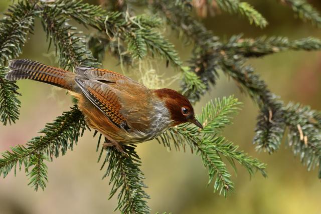 阿里山の野鳥〜シマドリ