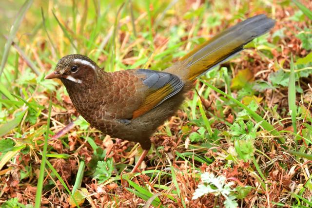 阿里山の野鳥〜ギンバネホイビイ
