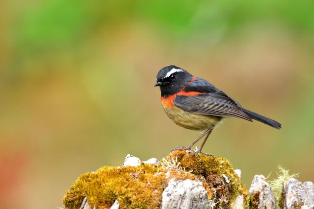 阿里山の野鳥〜アリサンヒタキ