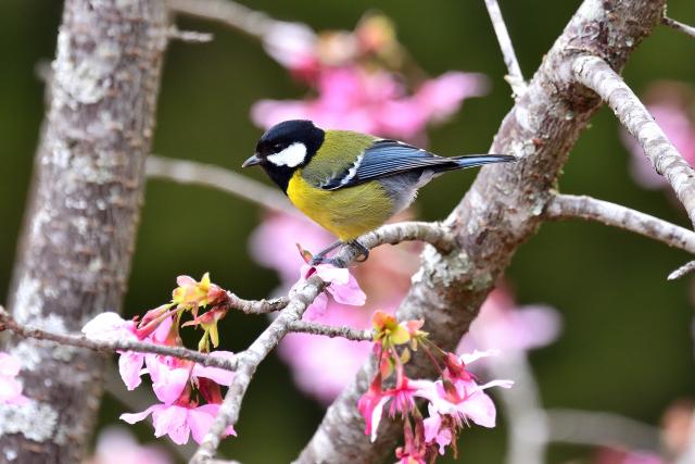阿里山の野鳥たち〜キバラシジュウカラ