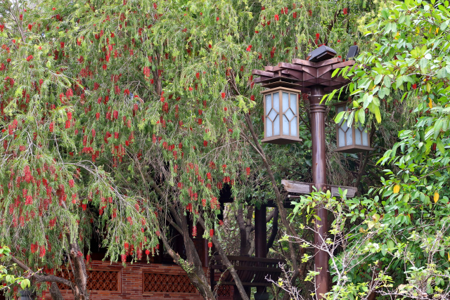ブラシの木とメジロ(4)