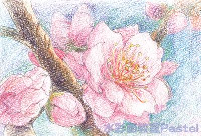 梅の花 色鉛筆画 無料塗り絵