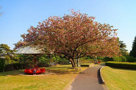 6IMG_9511八重桜
