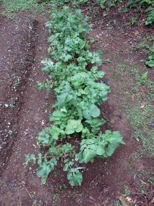 191201-101=ハツカダイコン2種収穫前畝 a庵奥の奥畑