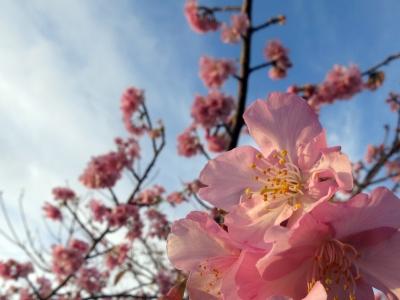 200129-13=カンヒザクラの花 aONA温泉駐車場