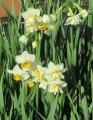 s-2・4、水仙の花