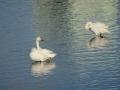 2・4朝の白鳥