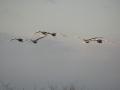 s-12・4夕方白鳥飛来