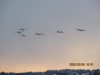 s-29夕方白鳥飛来