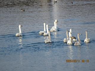s-211朝の白鳥