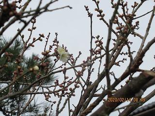 s-214庭の梅咲く