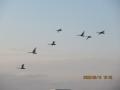 s-214白鳥飛来