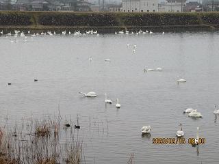 s-216朝の白鳥採用