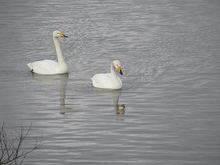 s-220白鳥は2羽のみ