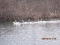s-223白鳥は6羽