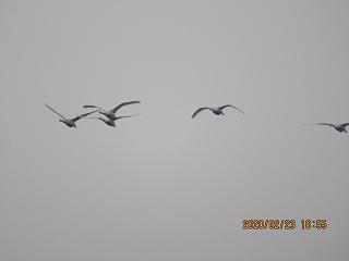 s-223白鳥飛来