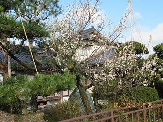 s-227梅の花