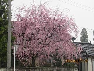 s-枝垂桜401
