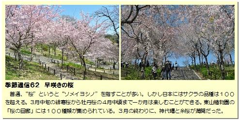 季節通信62早咲きの桜