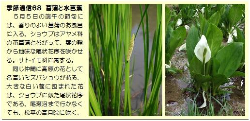季節通信68菖蒲と水芭蕉
