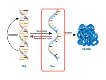 20180322-gene-editting-rna-02-w1280-e1572517872552.jpg