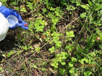 ヘビイチゴ、約21000 Bq:kgEMjGY4WVAAIwW6b
