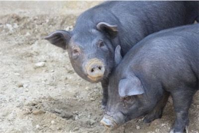 在来豚のアグーba6ecaf6e92f3e86ae11b85f36d5e2b9