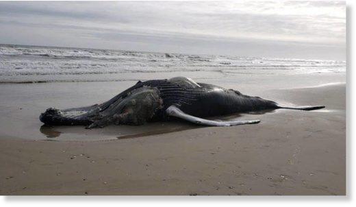 Stranded_Whale.jpg
