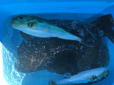 釣り 平目 ハマチ サバフグ 爆釣 昆布締め 料理 花屋 花夢