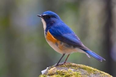 ルリビタキ_幸せの青い鳥 小鳥 かわいい