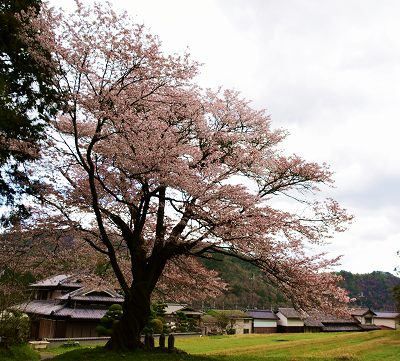 20200405藍の舞桜 (2)