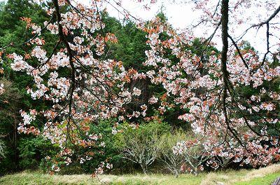 20200405藍の舞桜 (4)