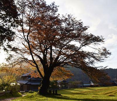 200414朝の舞桜 (5)