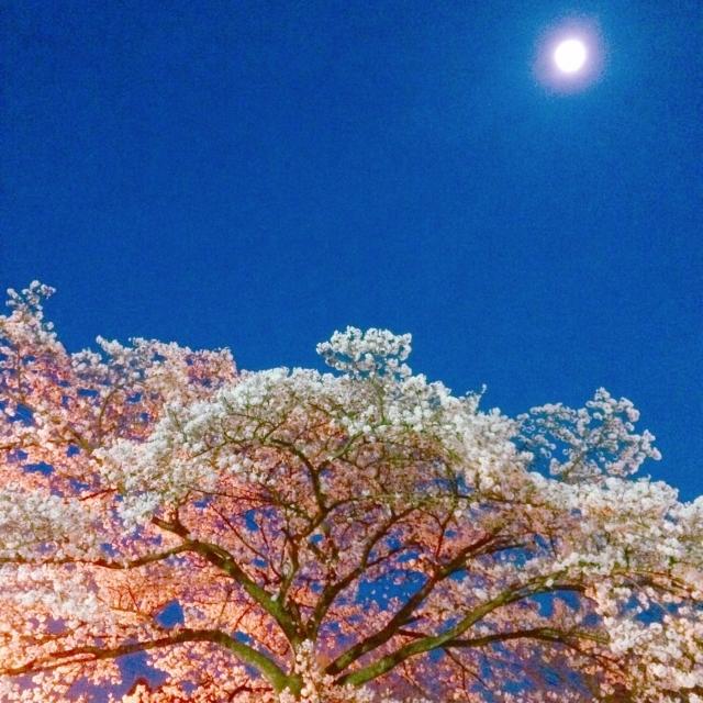 夜桜と満月