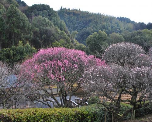 南楽園の梅