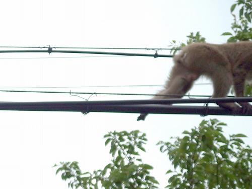 190531電線の猿