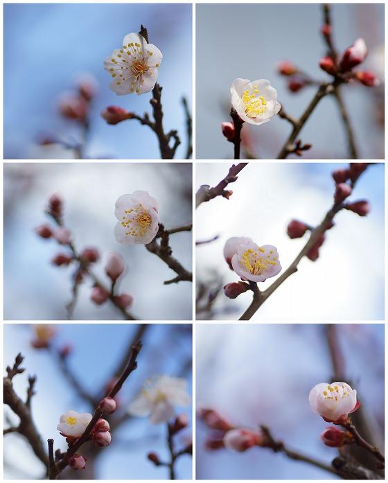 200217梅の花