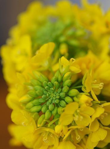 200306菜の花-1