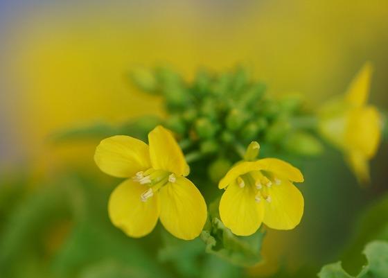 200306菜の花-2