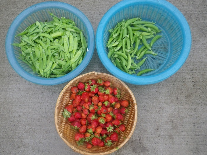 収穫1_20_05_06