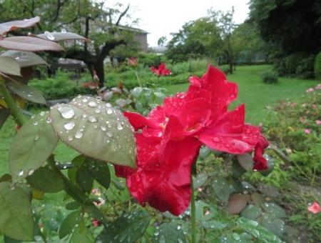 濡れて咲く薔薇の花 2019-08-26 007