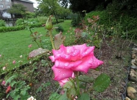 濡れて咲く薔薇の花 2019-08-26 012