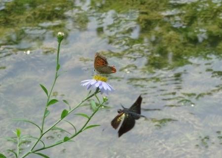 麻生池のイトトンボ(赤)等 2019-07-16 024