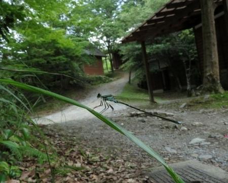 麻生池のイトトンボ(赤)等 2019-07-16 011