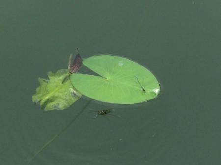 麻生池のイトトンボ(赤)等 2019-07-16 050